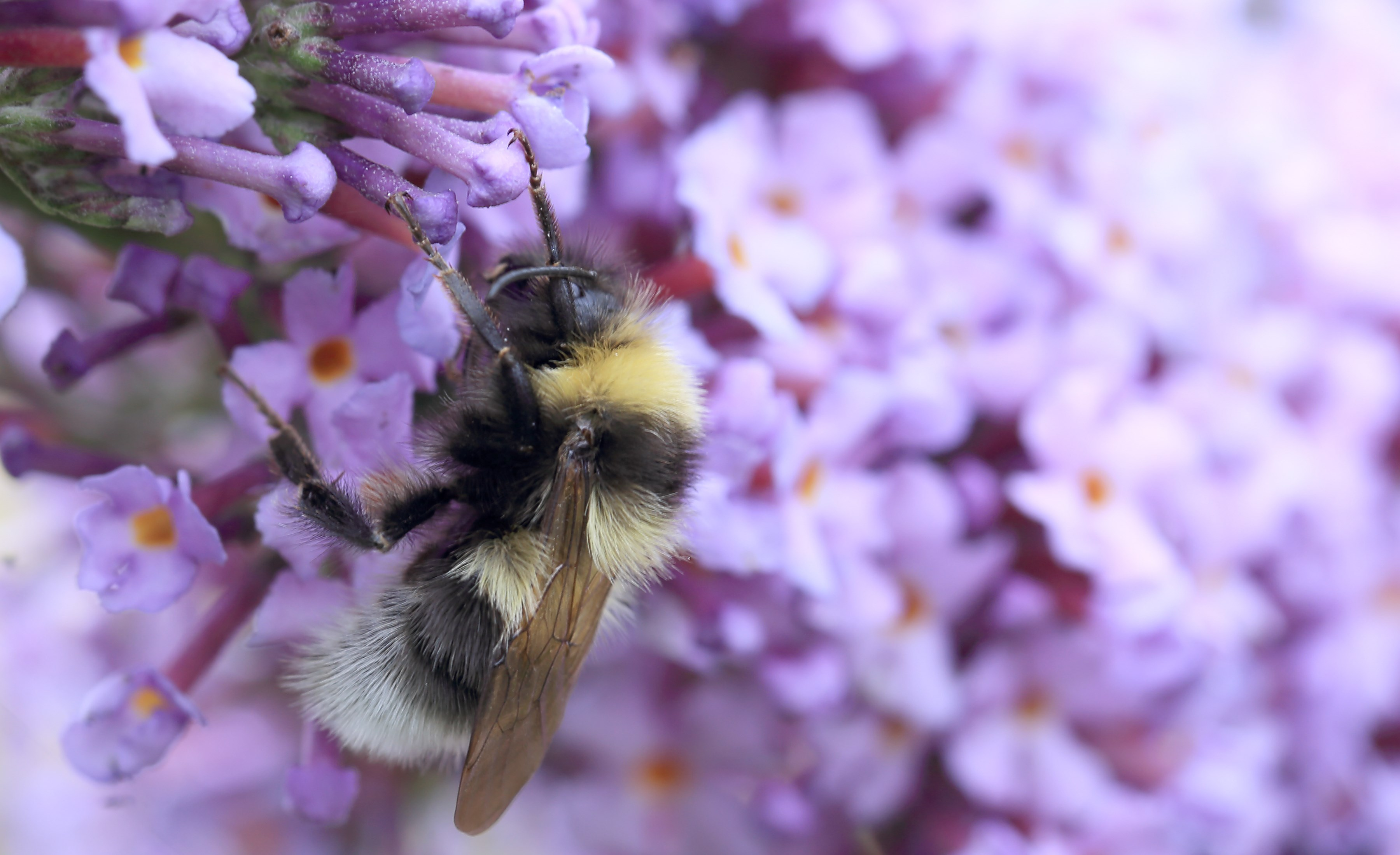 bee-friendly-plants-Buddleia.jpg