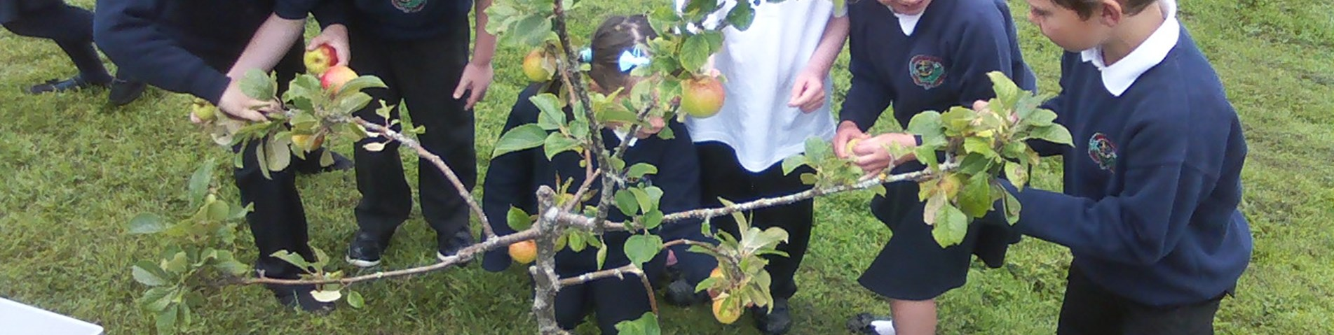 Food for Life Scotland Argyll Bute primary school children collecting apples with the help of secondary pupils Scotland fruit tree garden school grounds.jpg