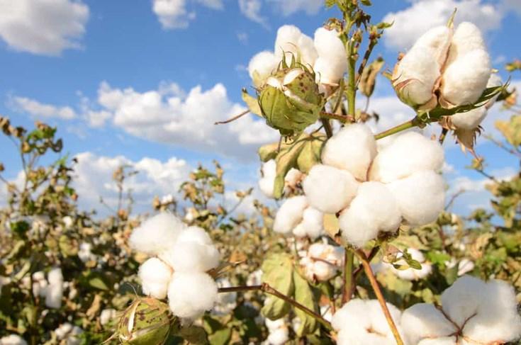 Những điều bạn cần biết về Cotton hữu cơ