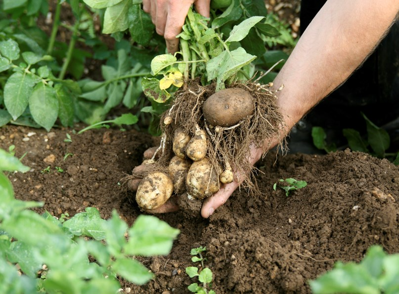 Organic farmers come together to tackle potato blight