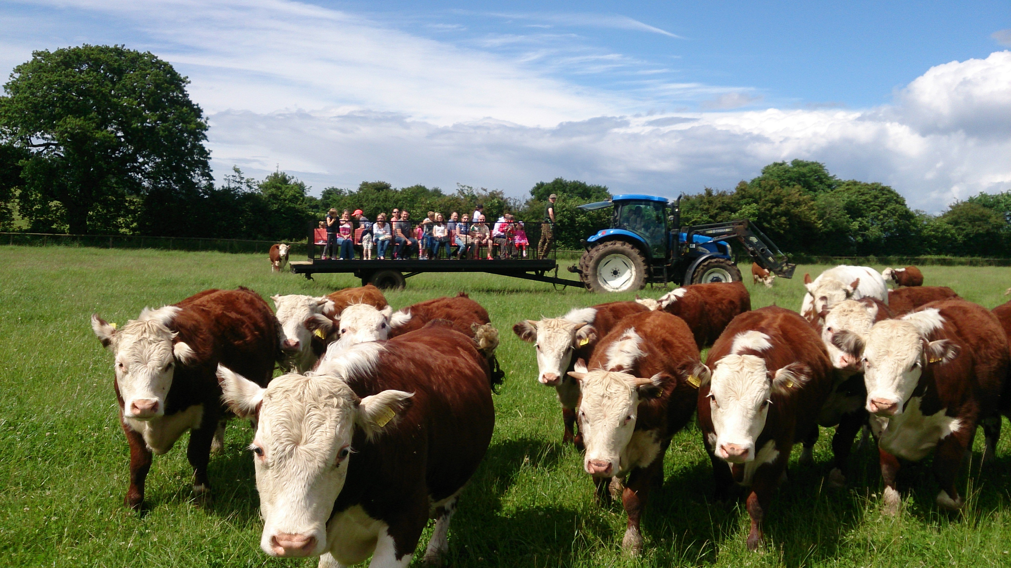 Traditional hereford heifers - Stables Farm Worcestershire.jpg