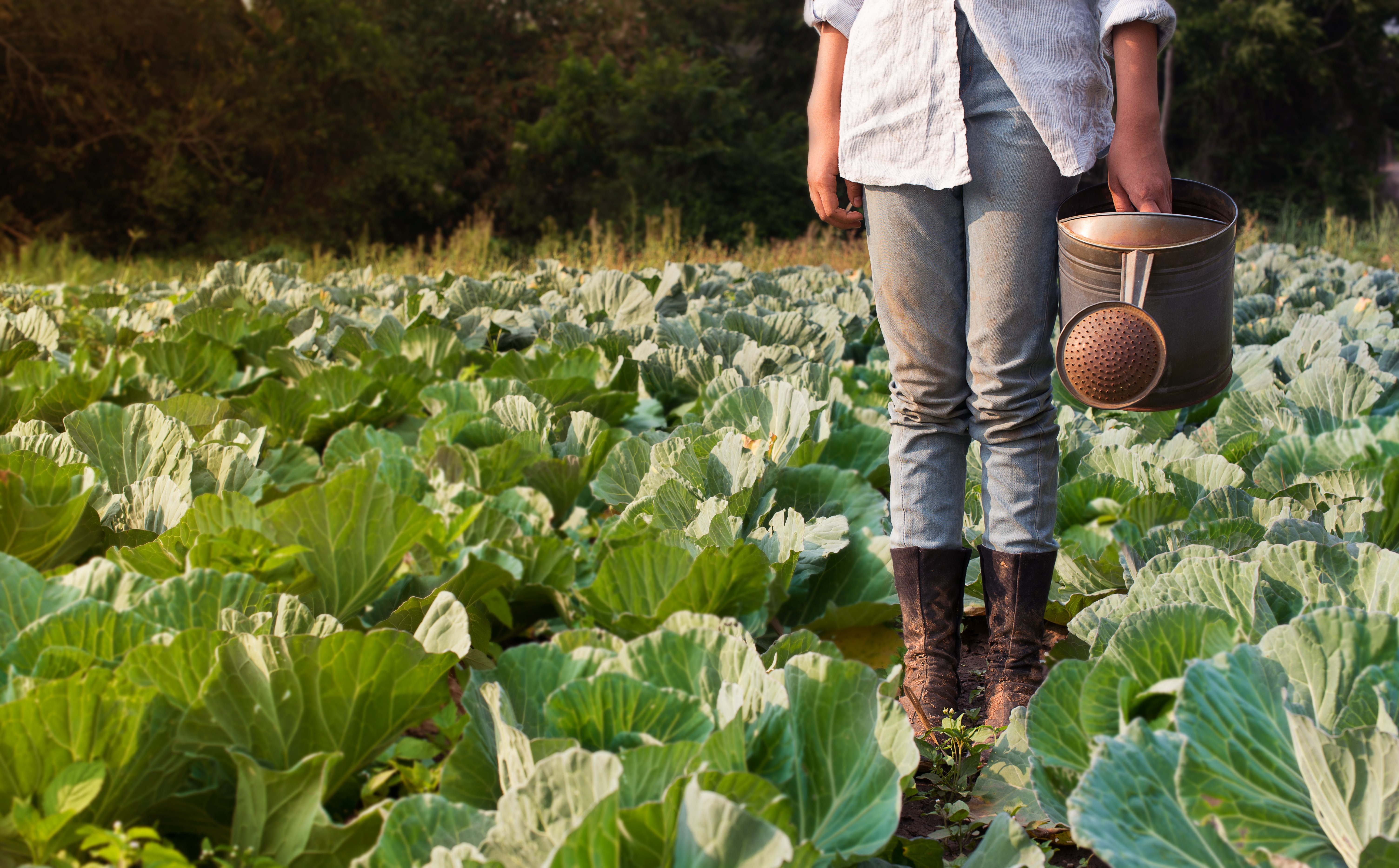 Woman in field of cabbages with watering can.jpg