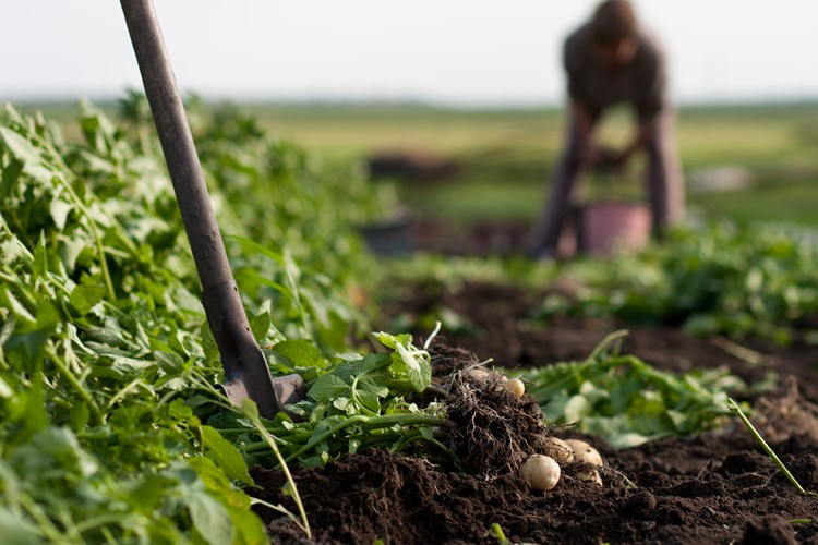 Potatoes being dug in field