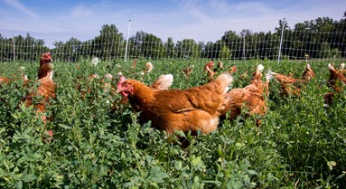 Natural cover requirement for poultry ranges