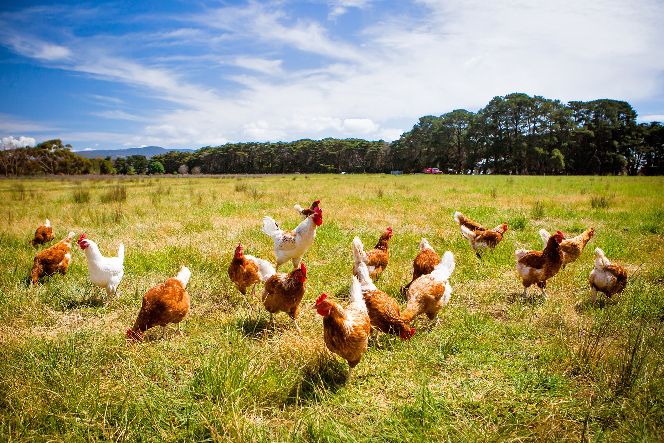 How safe is Chlorinated Chicken?