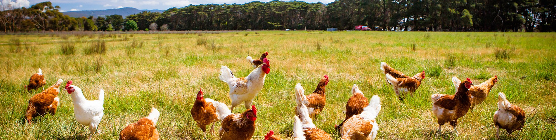 How to reduce antibiotic use on broiler chicken farms