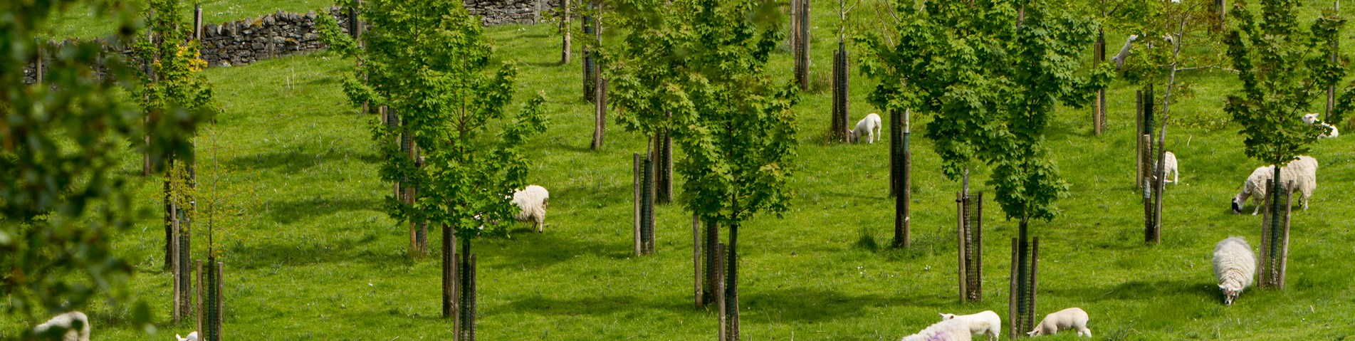Agroforestry sheep trees Bolfracks Estate Aberfeldy Scotland - Credit Matthias Kremer.jpg