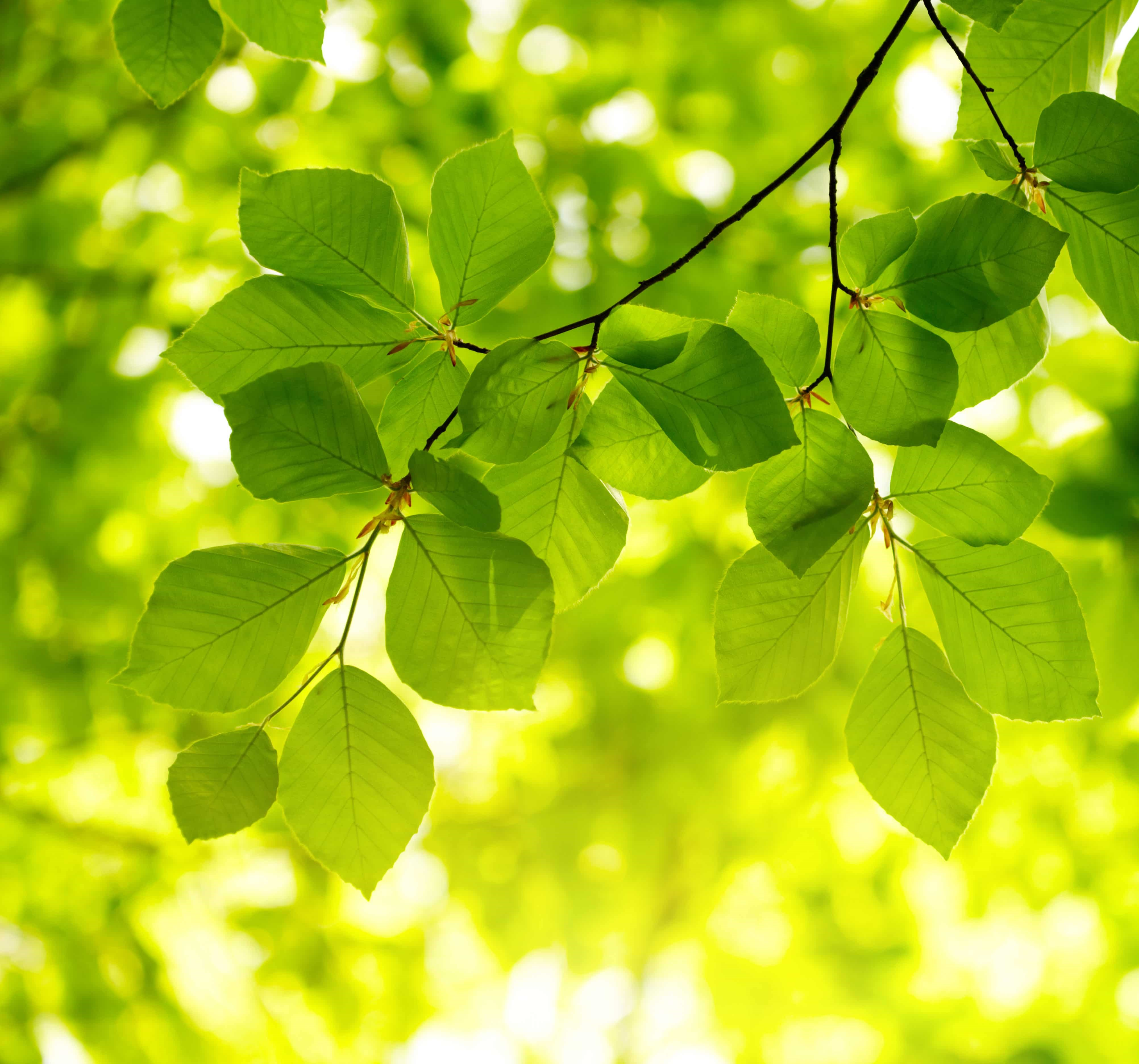 beech leaves on branch.jpg