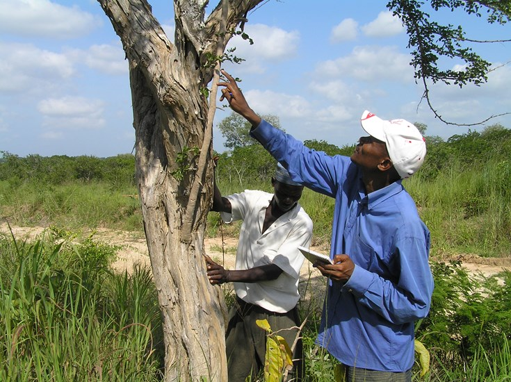 Responsible management of mpingo trees, used to make musical instruments