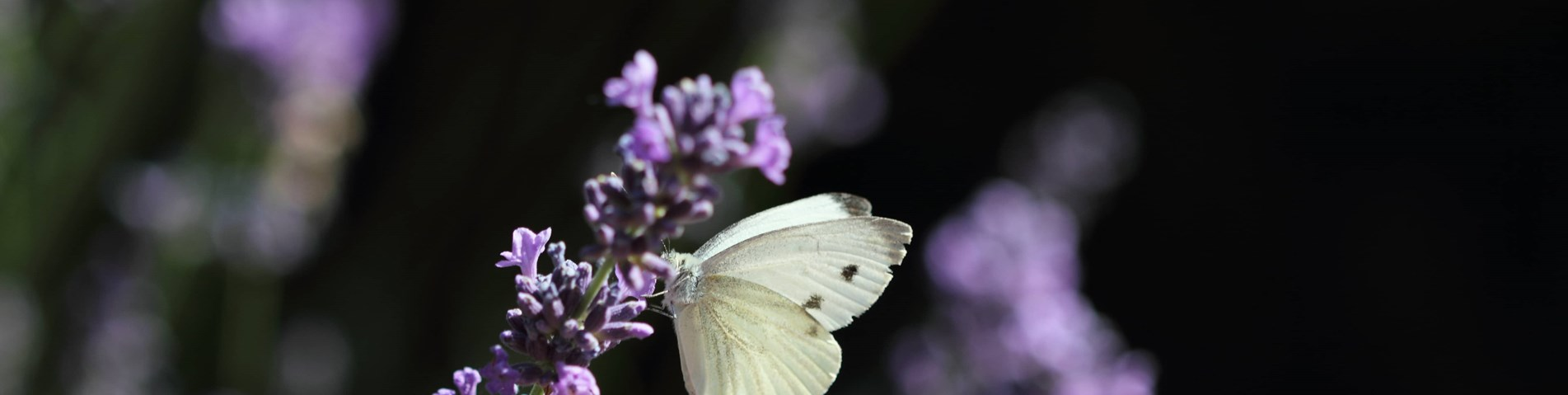 Butterfly on lavender.jpg