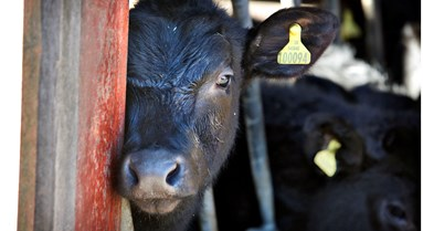Factory Farming: When Big Goes Bad