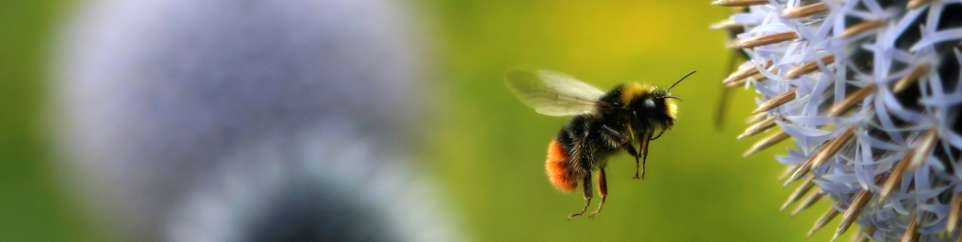 bee-flying-to-flower-iStock_000000745159_Medium.jpg