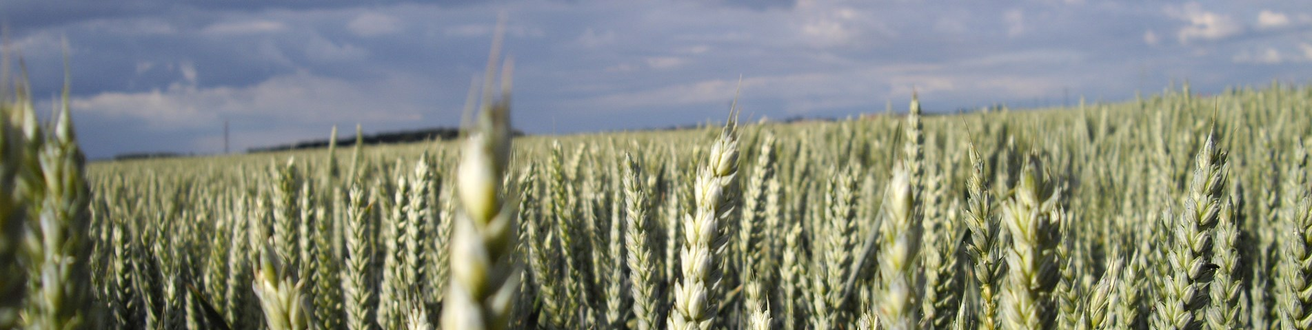 wheat-in-field.JPG