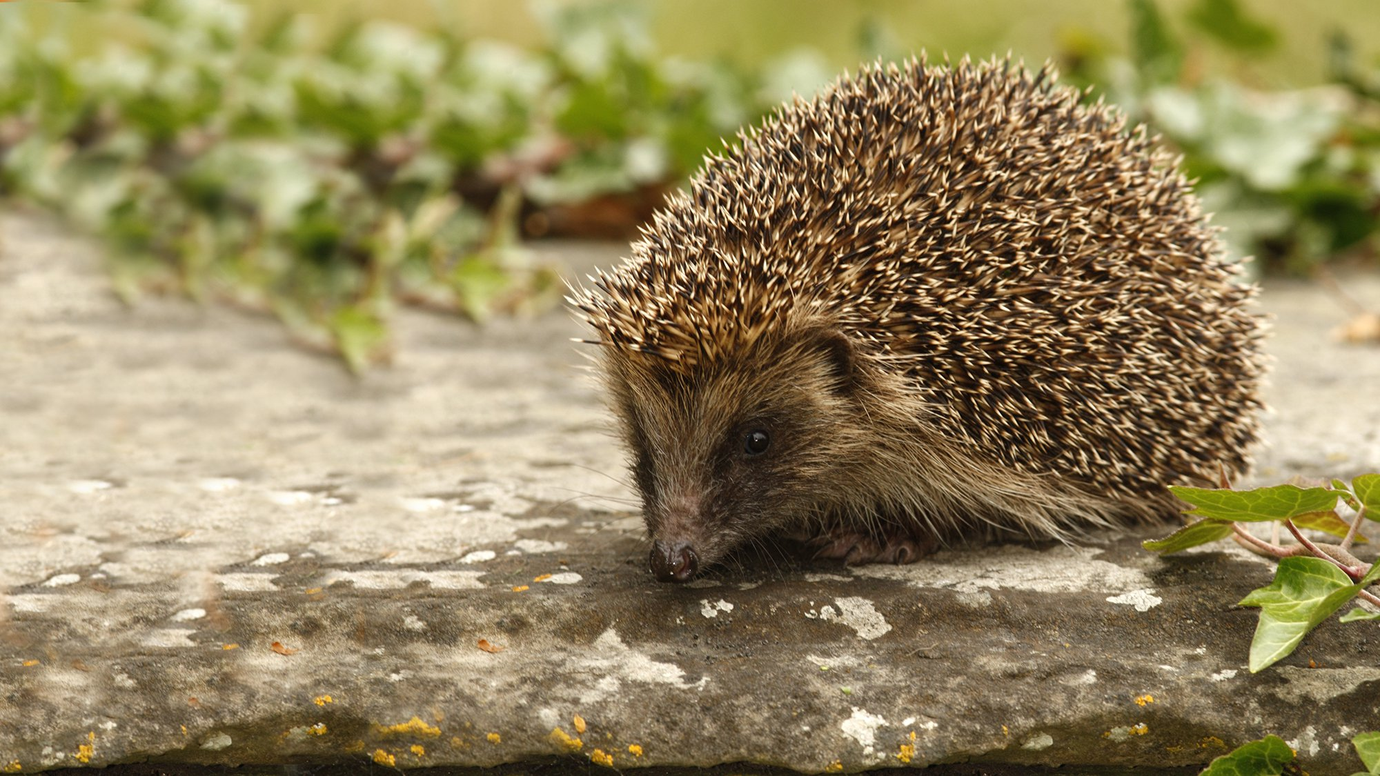 Hedgehogs could benefit agroforestry systems