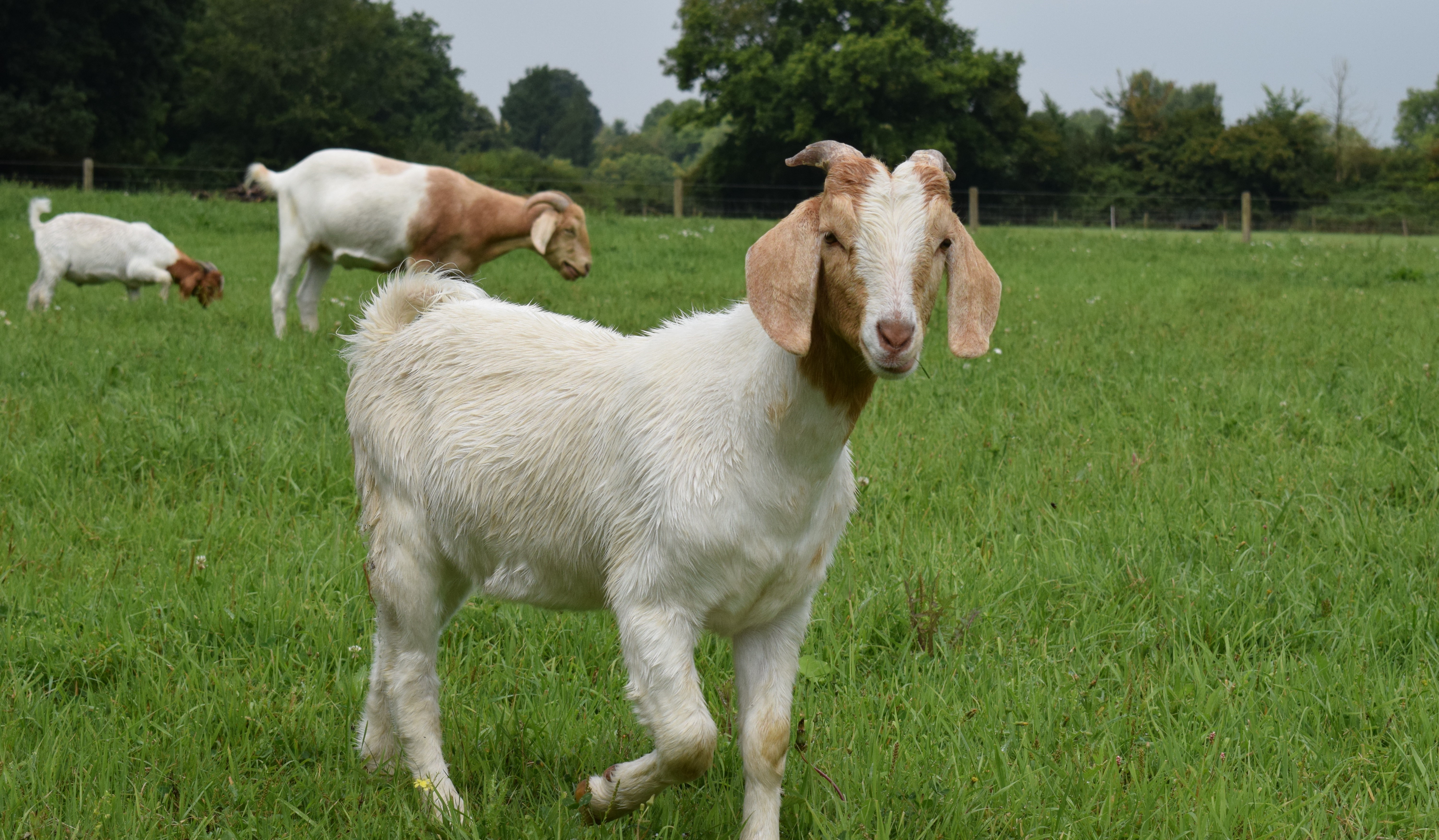 Why Organic Goats are Goatally Awesome!