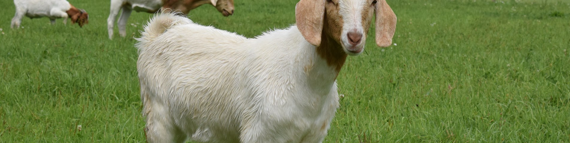 Goats at Bere Marsh Farm 2.jpg