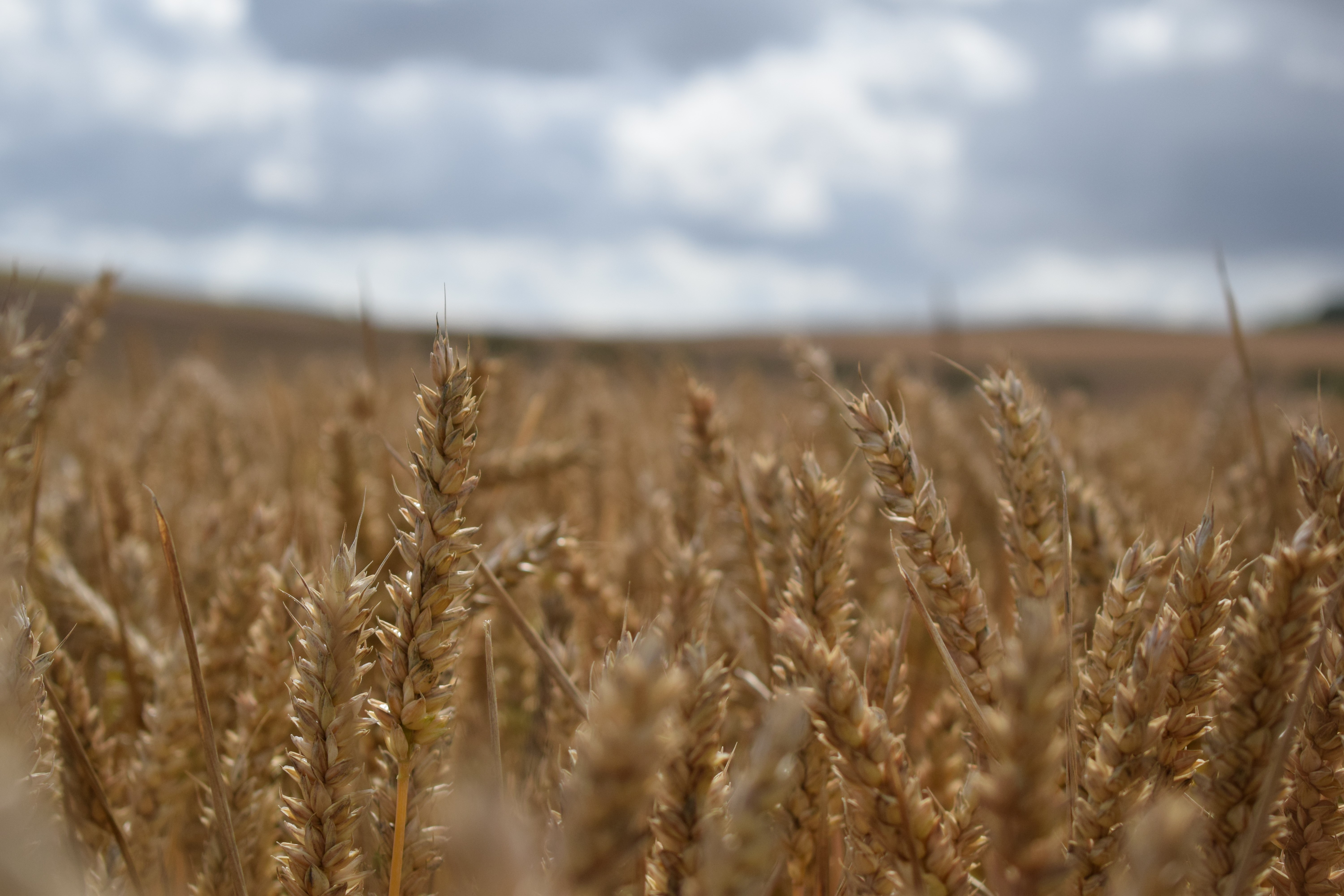 wheat helens farm.jpg (1)