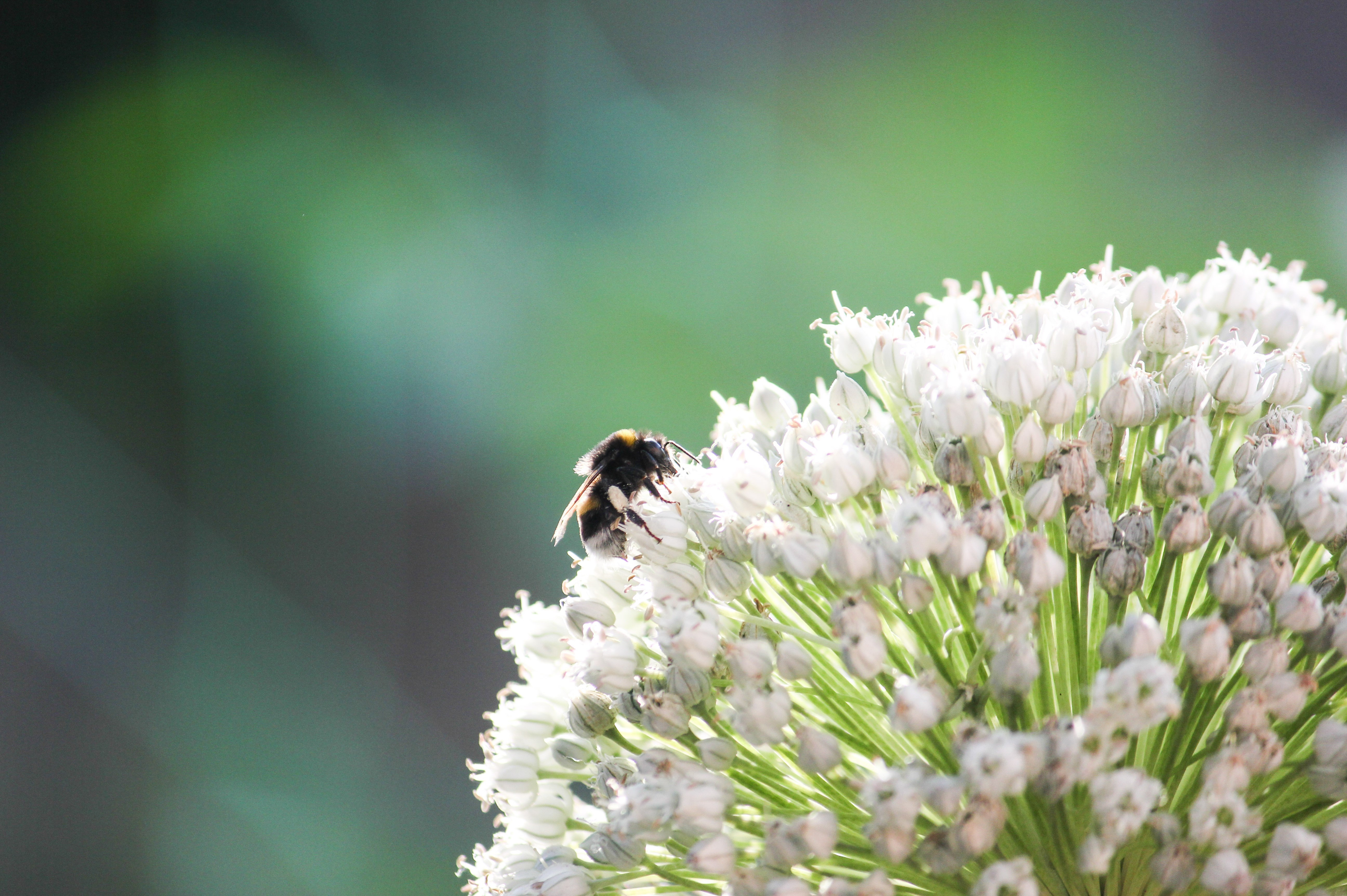 bee and round budded flower.jpg