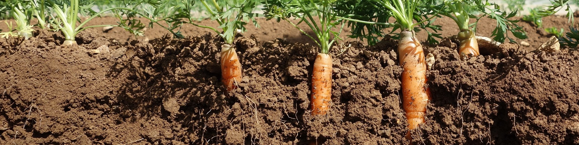 Carrots growing in soil.JPG (1)