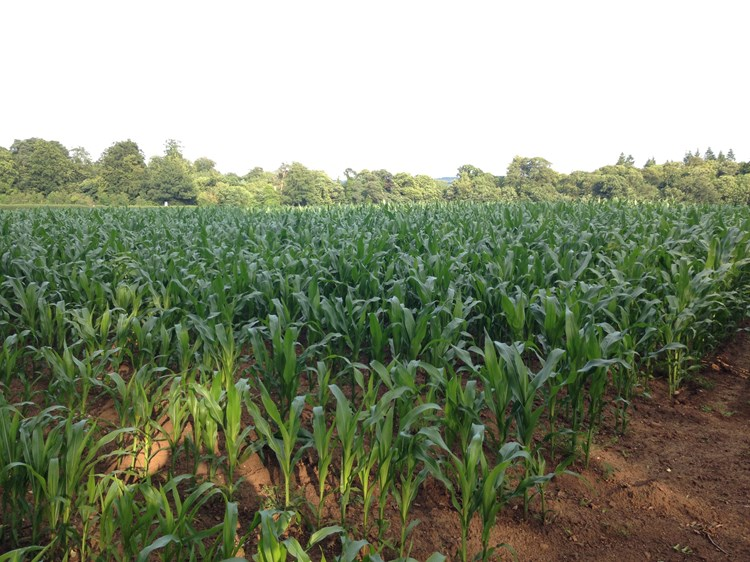 A field of maize