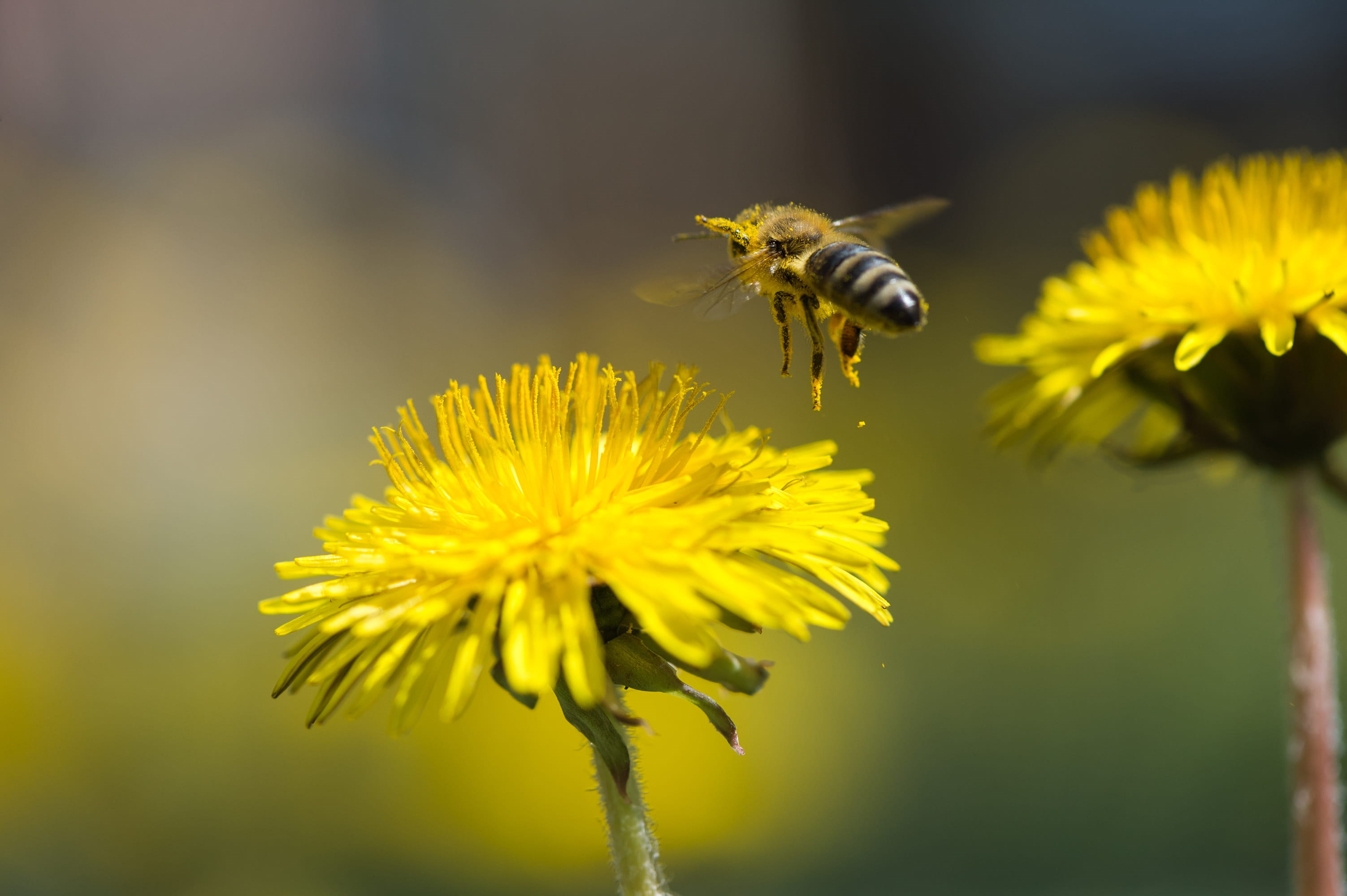bee and dandelion.jpg