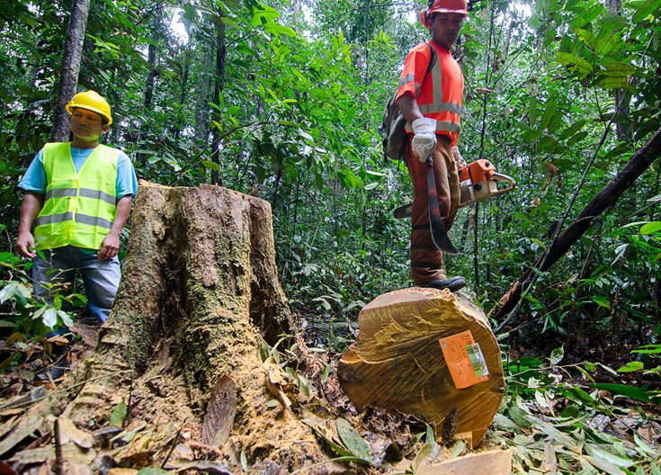 Directional felling at Guyana's Iwokrama Forest (received FSC® certification in October 2016)